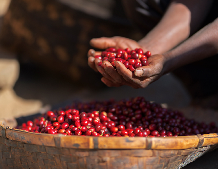 Sustainable Coffee Farming Is The Key To A Better Future